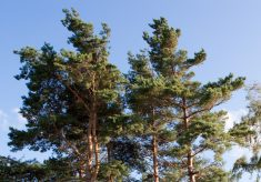 Breeding trees for big buildings