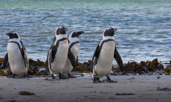 One-eyed African penguin receives care from uShaka Sea World Team