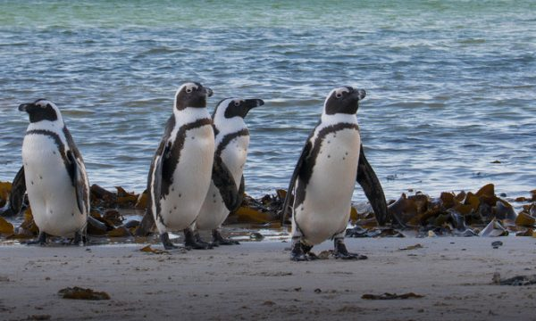 One-eyed African penguin receives care from uShaka Sea World Team